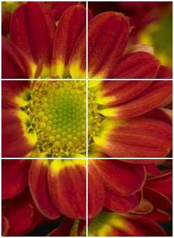 bordeaux - gelbe chrysanthemen blüte